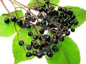 Jarní recepty: Bez černý – Sambus nigra.
