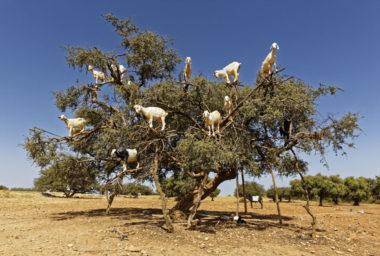 Arganový olej, zázrak z Maroka