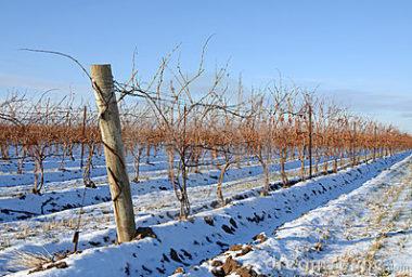 Mrazy prozatím vinohrady příliš nepoškodily