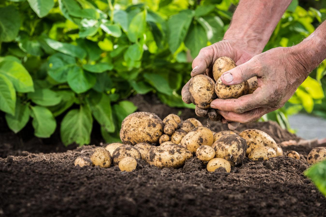 Historie brambor začíná na Machu Picchu