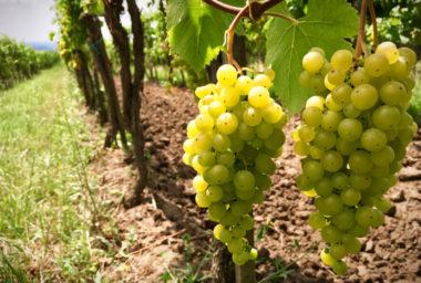 Vinaři již začali se sklizní. Na její hodnocení je ale ještě brzy