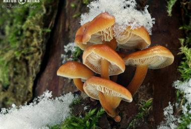 Na houby v zimě? Ano!