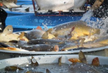 Jihočeští vědci přicházejí s inovativními výrobky ze sladkovodních ryb, to by mohlo pomoci zvýšení spotřeby ryb v Česku